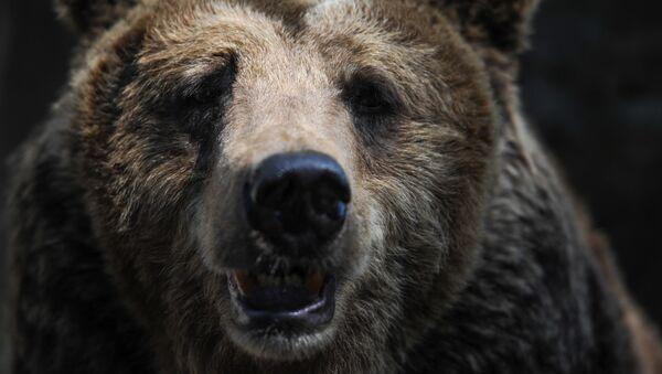 Gấu nâu - Sputnik Việt Nam