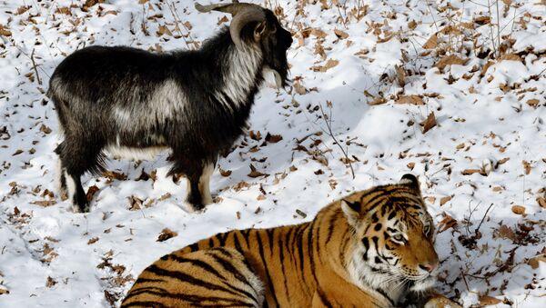 Dê Timur và hổ Amur trong công viên chung - Sputnik Việt Nam