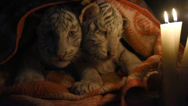 Những chú hổ con Bengal nằm dưới chăn ở sở thú Yalta - Sputnik Việt Nam